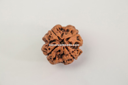 Four Mukhi Medium Rudraksha