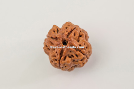 Four Mukhi Collector Rudraksha