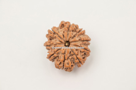 Nine Mukhi 100% Original Medium Rudraksha Everest Beads